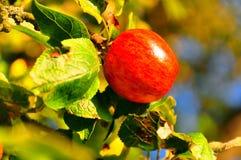 苹果红色通配 免版税库存图片