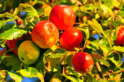 苹果红色通配 图库摄影