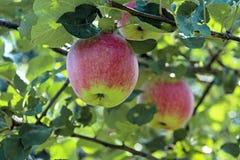 苹果红色结构树二 免版税库存图片