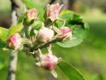 苹果绽放开花分行春天结构树 库存图片
