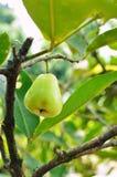 苹果绿的玫瑰色结构树 免版税库存照片