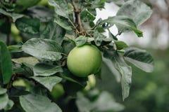 苹果绿色结构树 图库摄影