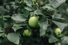 苹果绿色结构树 免版税图库摄影