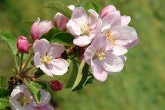 苹果美丽的花 库存图片