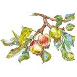 苹果美好的例证结构树向量 向量例证
