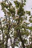 苹果美好的例证结构树向量 库存图片