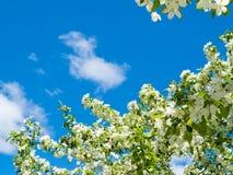苹果背景开花的结构树 免版税图库摄影