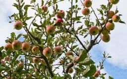 苹果背景红色浅结构树 图库摄影