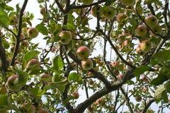 苹果背景红色浅结构树 免版税库存照片