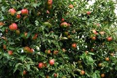 苹果背景结构树 免版税图库摄影