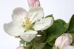 苹果花结构树 免版税库存图片