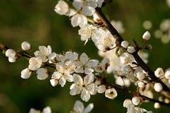 苹果花结构树 库存图片