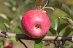 苹果花苞特写镜头  库存照片