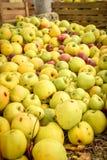 苹果苹果分行结果实叶子果树园 有机红色成熟苹果 库存照片