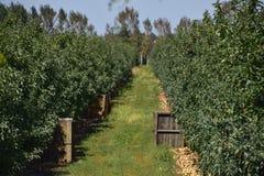 苹果苹果分行结果实叶子果树园 树和地面的果子行在t下的 库存照片