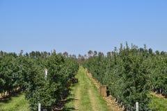 苹果苹果分行结果实叶子果树园 树和地面的果子行在t下的 图库摄影