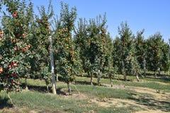 苹果苹果分行结果实叶子果树园 树和地面的果子行在t下的 免版税库存图片