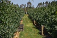 苹果苹果分行结果实叶子果树园 树和地面的果子行在t下的 免版税库存照片