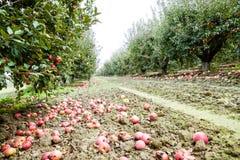 苹果苹果分行结果实叶子果树园 树和地面的果子行在树下 免版税库存照片