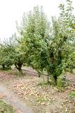 苹果苹果分行结果实叶子果树园 树和地面的果子行在树下 库存照片