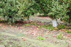 苹果苹果分行结果实叶子果树园 树和地面的果子行在树下 图库摄影