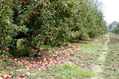 苹果苹果分行结果实叶子果树园 树和地面的果子行在树下 免版税库存图片