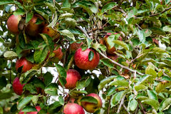 苹果苹果分行结果实叶子果树园 树和地面的果子行在树下 库存图片