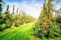 苹果苹果分行结果实叶子果树园 免版税图库摄影