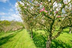 苹果苹果分行结果实叶子果树园 图库摄影