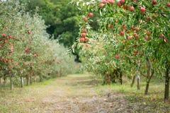 苹果苹果分行结果实叶子果树园 库存照片