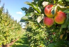 苹果苹果分行结果实叶子果树园 免版税库存照片