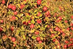 苹果苹果分行结果实叶子果树园 库存图片
