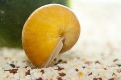 苹果蜗牛 免版税库存图片