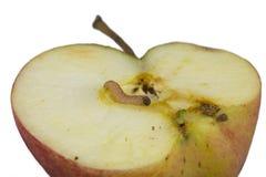 苹果蠹蛾 免版税图库摄影