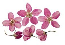 苹果被按的和干燥明亮的桃红色花  查出 免版税库存照片