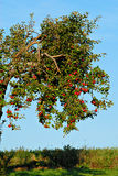 苹果被装载的结构树 库存照片