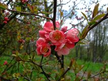 苹果计算机在庭院里开花桃红色 免版税库存图片