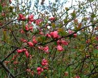 苹果计算机在庭院里开花桃红色 免版税库存照片