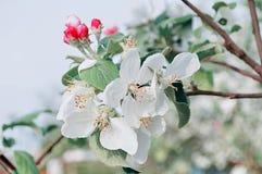 苹果计算机在春天开花开花在软的阳光-在淡色口气的天然泉花卉背景下 免版税库存照片