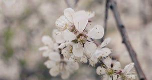 苹果计算机在春天特写镜头软颜色葡萄酒分级开花 影视素材