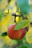苹果计算机在果树园在秋天 库存图片
