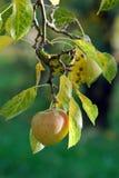 苹果计算机在果树园在秋天 库存照片