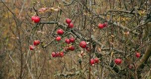 苹果计算机在果树园 免版税图库摄影