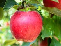 苹果计算机在果树园 库存照片
