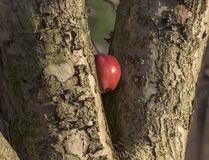 苹果计算机在树楔住了 免版税图库摄影