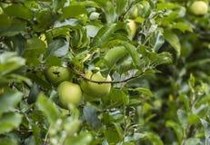 苹果计算机在种植园 图库摄影
