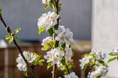 苹果计算机在绽放的开花树 库存照片