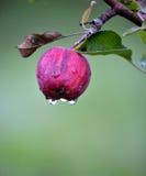 苹果计算机在10月结果实准备好收获在果树园 图库摄影