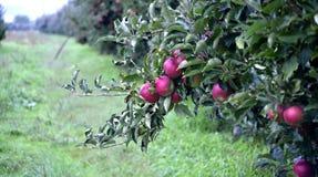 苹果计算机在10月结果实准备好收获在果树园 免版税图库摄影