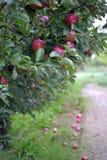 苹果计算机在10月结果实准备好收获在果树园 免版税库存图片